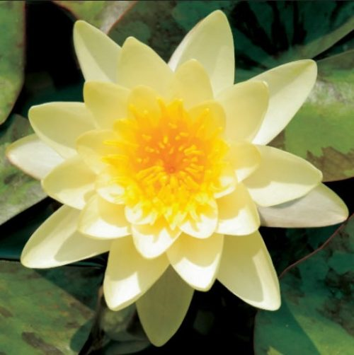 GC238 Water Lily