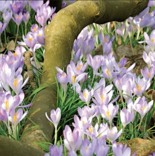 GC251 Woodland Crocuses