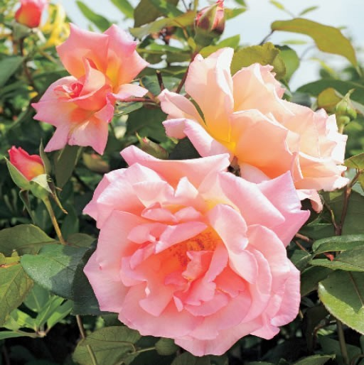 GC252 Summer Roses