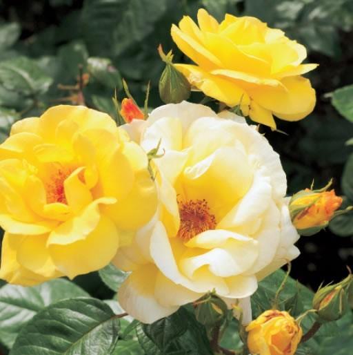 GC263 Rose d'été