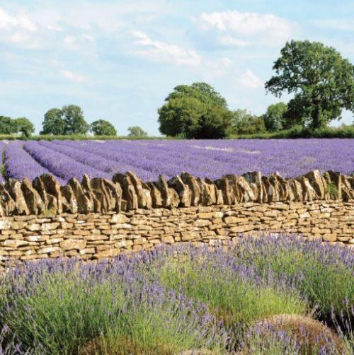 GC307 Lavender Fields