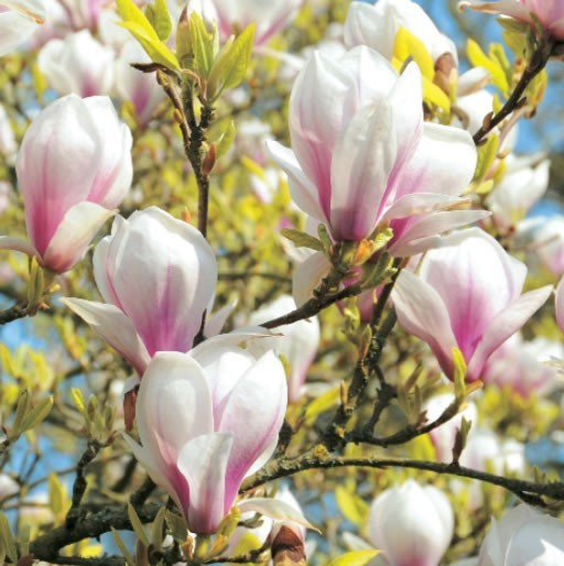 GC315 Magnolias