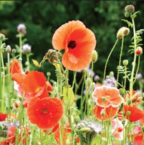 GC371 Poppies
