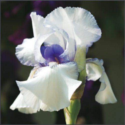 GC231 Purple Iris