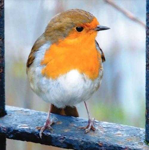 GC387 Winter Robin