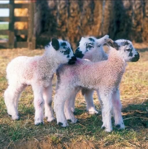 GC203 Lambs