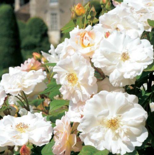 GC204 Summer Roses
