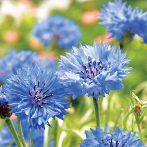 GC09 Cornflowers