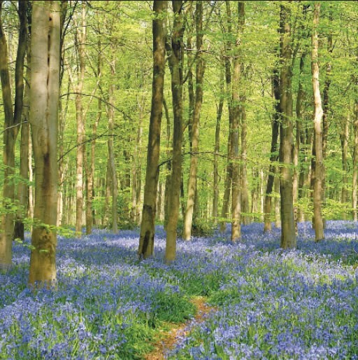 GC217 Bluebell Glade