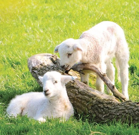 GC82 Spring Lambs