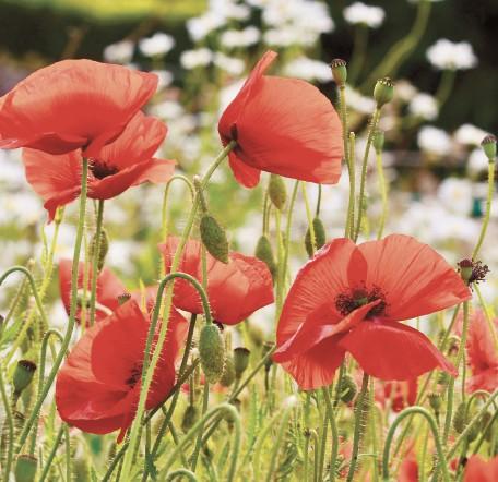 GC160 Poppies