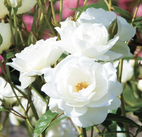 GC214 Rose Garden